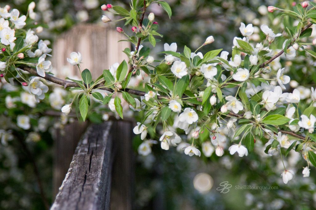 White Crabapple and Fence 2013-1 - ShelliBourque