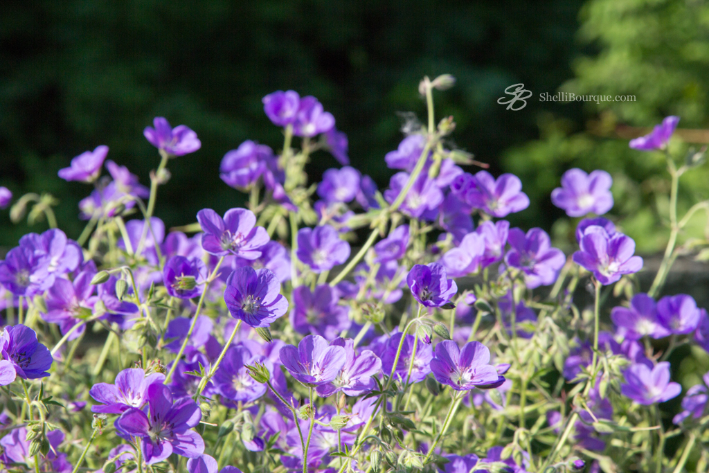 purple flowers - ShelliBourque