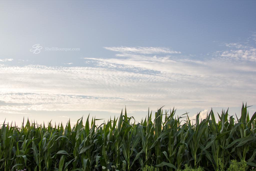 Corn at sunset - ShelliBourque