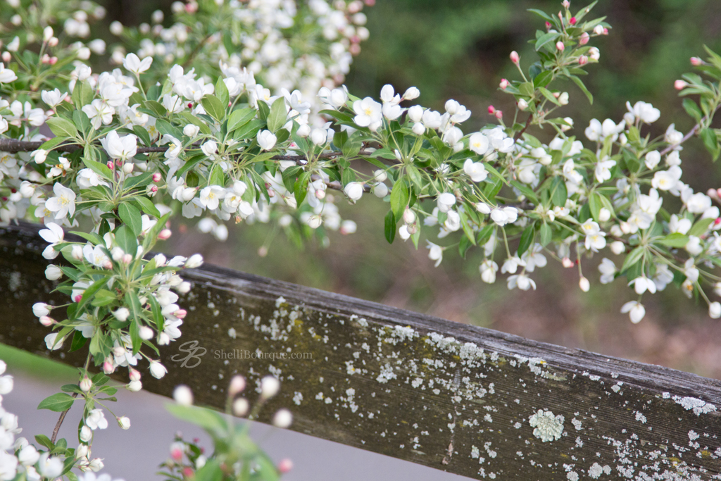 White Crabapple and Fence 2013-5 - ShelliBourque