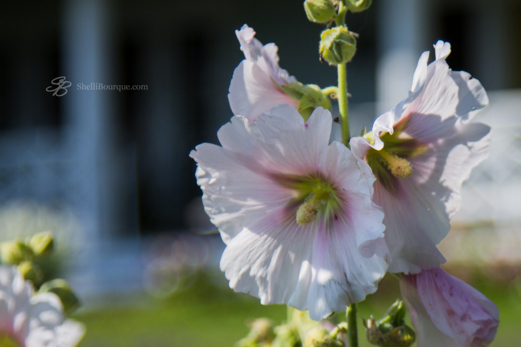 Hollyhocks - ShelliBourque